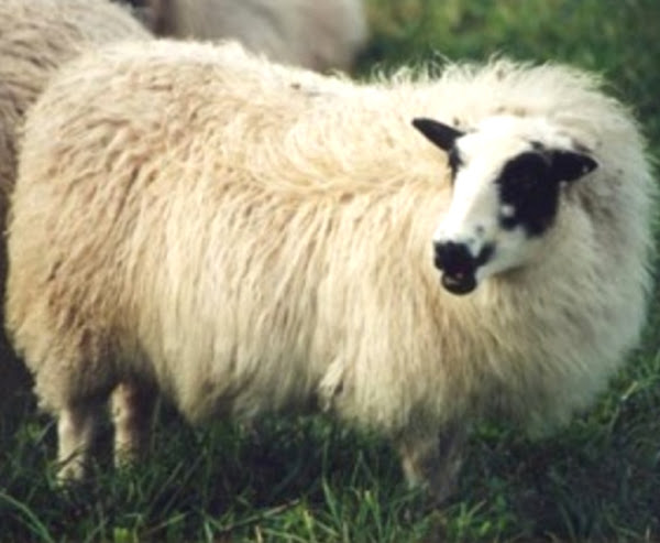 All Sheep Breeds