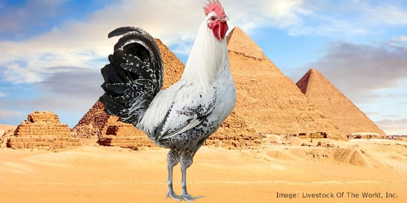 Egyptian Fayoumi Chickens