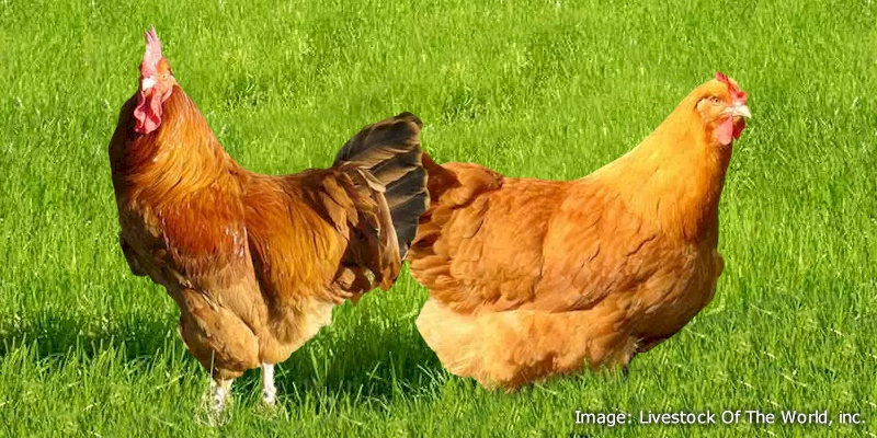 Lincolnshire Buff Chickens