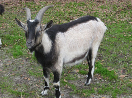 Goat Breeds Goats