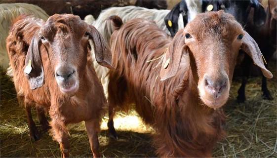 Goat Breeds | Goats