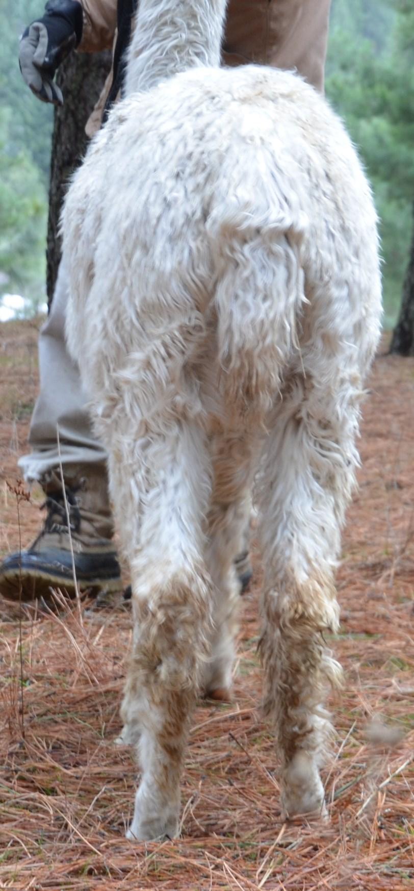 Legata rear legs