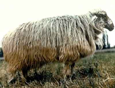 All Sheep Breeds
