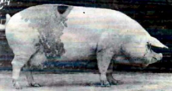 All Pig Breeds | Swine